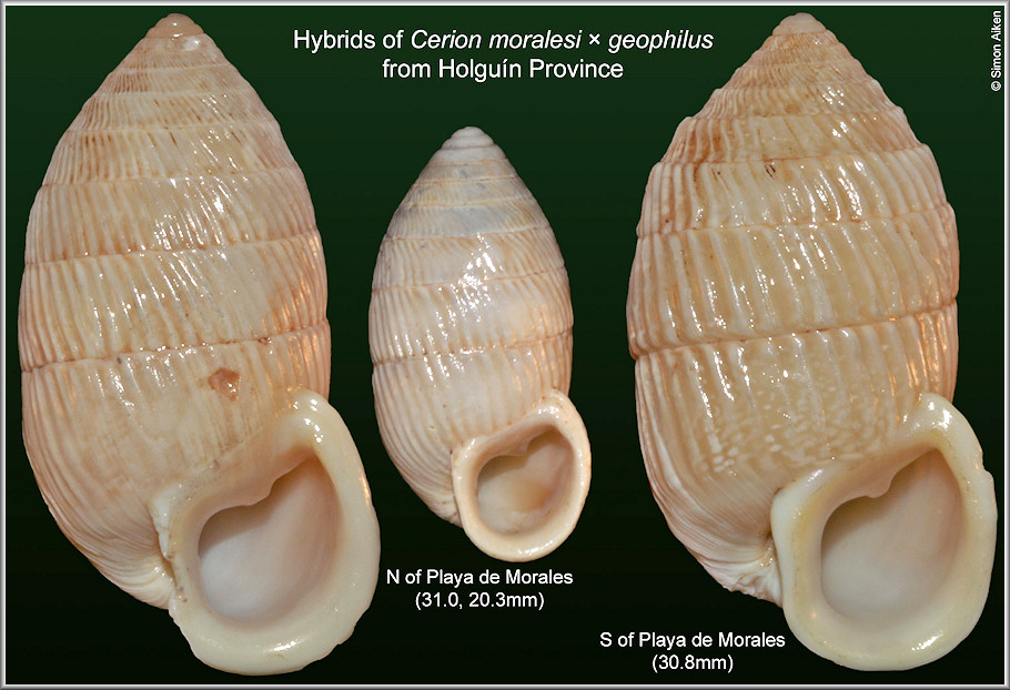 Hybrids of Cerion moralesi Clench and Aguayo, 1951 and Cerion geophilus Clench and Aguayo, 1949