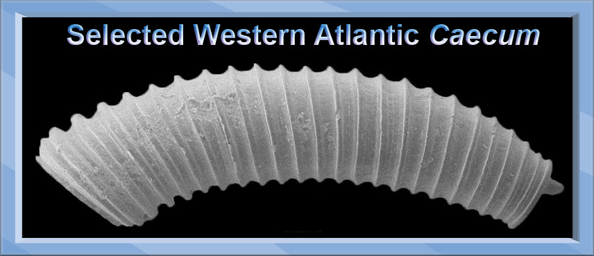 Selected Western Atlantic Caecum