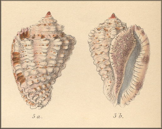 Morum exquisitum (A. Adams and Reeve, 1848) Type Figure
