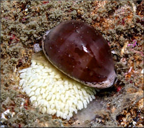 Luria cinerea (Gmelin, 1791) Atlantic Gray Cowrie With Eggs