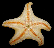 "Pteraster marsippus Fisher, 1910 ""Prickly Cushion Star"""