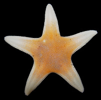 Leptychaster arcticus (Sars, 1851) Arctic Sand Star