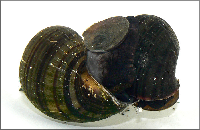 Pomacea diffusa mating pair (male on the left)