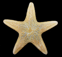 Leptychaster pacificus Fisher, 1906 Pacific Sand Star