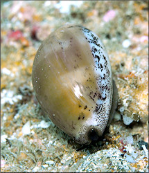 Luria cinerea (Gmelin, 1791) Atlantic Gray Cowrie