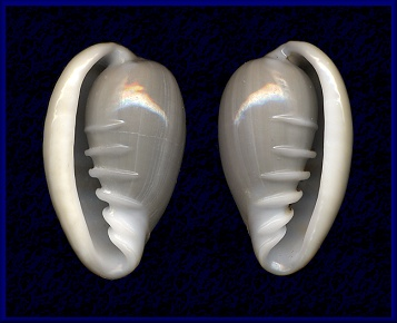 Sinistral Cryptospira tricincta (Hinds, 1844)