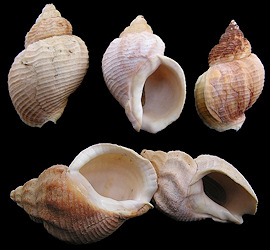 Buccinum undatum Linnaeus, 1758 Waved Whelk
