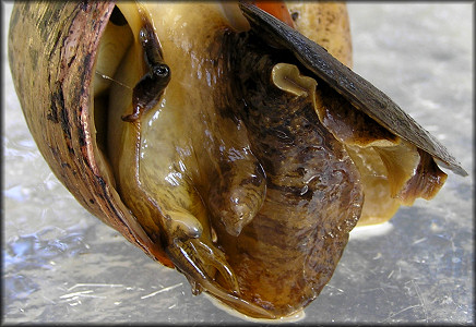 Live Pomacea maculata from Cunningham Creek (9/30/2006)