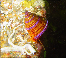 Calliostoma annulatum (Lightfoot, 1786) Purple-ring Topsnail