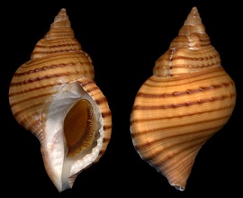 Type species: Argobuccinum pustulosum pustulosum (Lightfoot, 1786)