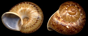 Cyclophorus perdix Broderip and Sowerby, 1829