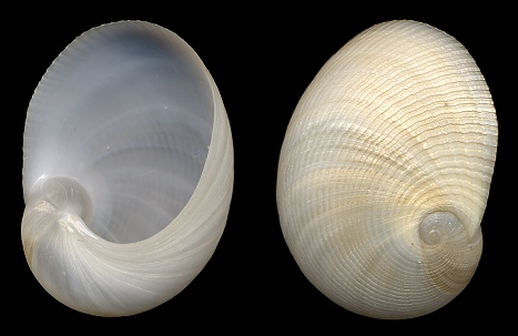 Sinum perspectivum (Say, 1831) White Baby Ear