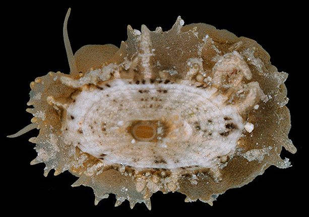 Lucapinella limatula (Reeve, 1850) File Fleshy Limpet