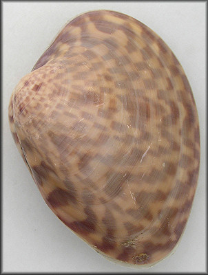 Macrocallista maculata (Linnaeus, 1758) Calico Clam