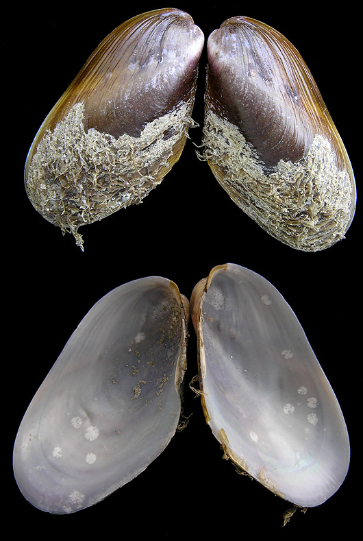 Modiolus  squamosus Beauperthuy, 1967 Southern Horsemussel