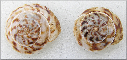 Anguispira picta (G. Clapp, 1920) Painted Tigersnail