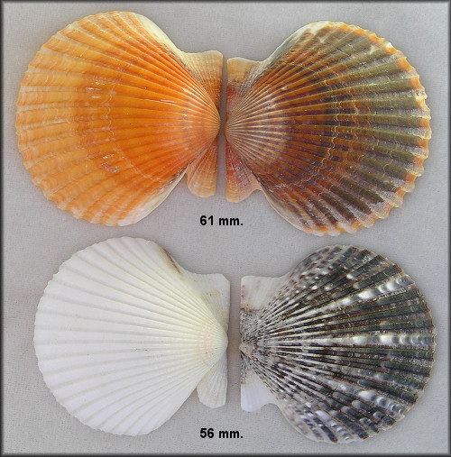 Argopecten irradians taylorae Petuch, 1987 Southern Bay Scallop