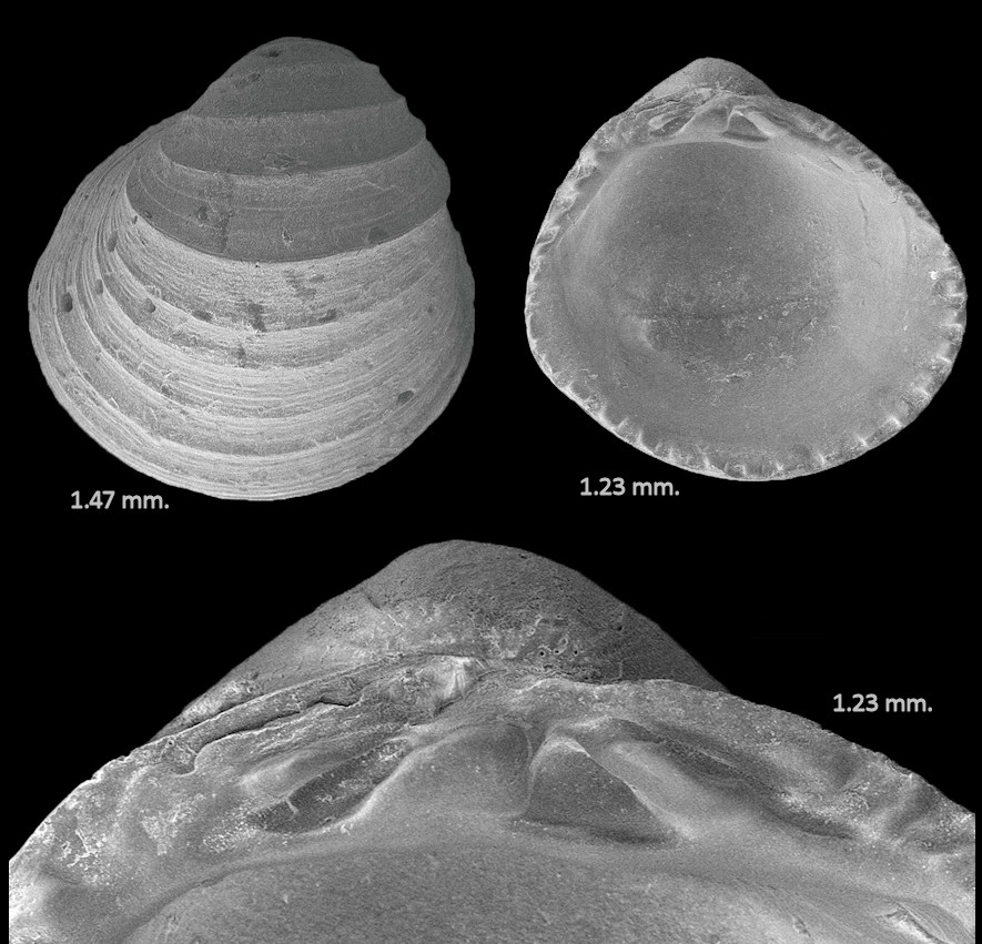Taxocardia floridana Olsson and Harbison, 1953 Fossil