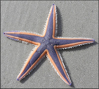 Astropecten articulatus (Say, 1825) Margined Sea Star